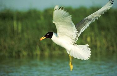 Great Black-headed Gull (Ichthyaetus ichthyaetus) flying, Europe  -  Goetz Eichhorn/ NiS