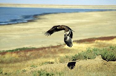 Steppe Eagle (Aquila nipalensis) juvenile flying, Europe  -  Goetz Eichhorn/ NiS