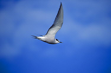 Aleutian Tern (Onychoprion aleuticus) flying, Siberia  -  Goetz Eichhorn/ NiS