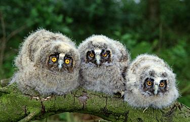 Long-eared Owl (Asio otus) three owlets on branch, Europe  -  Flip de Nooyer