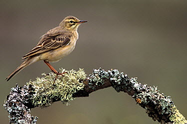 Tawny Pipit (Anthus campestris) perching on mossy branch, Europe  -  Frits van Daalen/ NiS