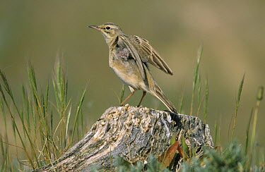 Tawny Pipit (Anthus campestris) spreads wings on tree-stump, Europe  -  Frits van Daalen/ NiS