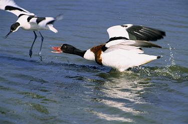 Common Shelduck (Tadorna tadorna) female threatening a Pied Avocet (Recurvirostra avosetta), Europe  -  Flip de Nooyer