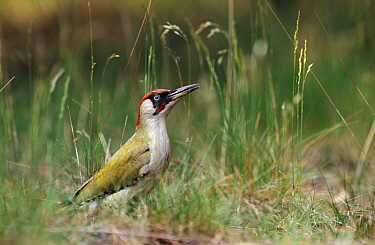Eurasian Green Woodpecker (Picus viridis) on ground, Europe  -  Flip de Nooyer