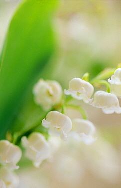 Lily of the Valley (Convallaria majalis), Europe  -  Jan Vermeer