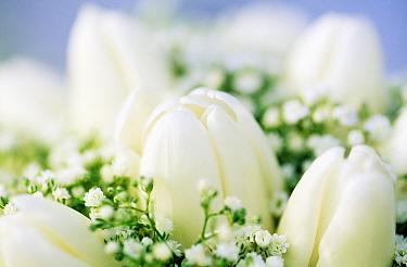 Tulip (Tulipa sp) and Baby's Breath (Gypsophila sp) bouquet  -  Jan Vermeer