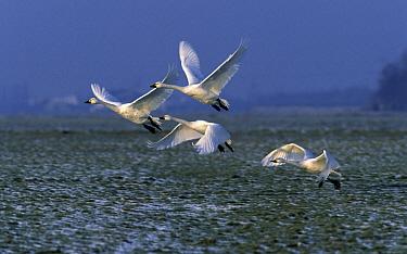 Bewick's Swan (Cygnus columbianus bewickii) four taking flight, Europe  -  Rob Reijnen / NiS