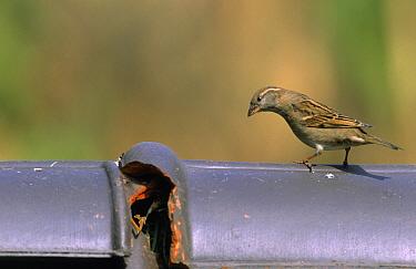 House Sparrow (Passer domesticus) on roof tile, Europe  -  Philip Friskorn/ NiS