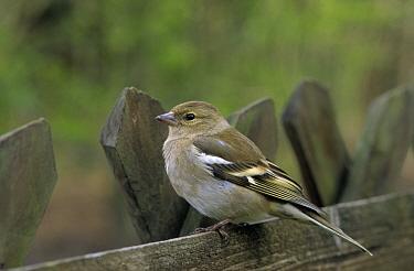 Chaffinch (Fringilla coelebs) perched on fence, Europe  -  Flip de Nooyer