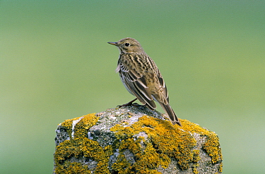 Meadow Pipit (Anthus pratensis) perching on moss covered cement pillar, Europe  -  Do van Dijk/ NiS