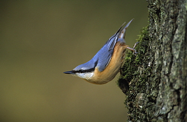 Wood Nuthatch (Sitta europaea) perched on tree trunk, Europe  -  Flip de Nooyer