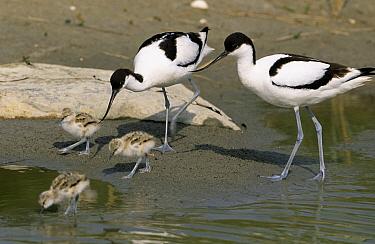 Pied Avocet (Recurvirostra avosetta) parents with chicks, Europe  -  Flip de Nooyer