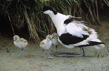 Pied Avocet (Recurvirostra avosetta) parent with chicks, Europe  -  Flip de Nooyer