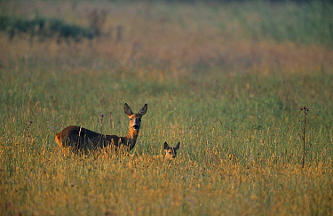 Western Roe Deer (Capreolus capreolus) doe and fawn in meadow, Europe  -  Flip de Nooyer