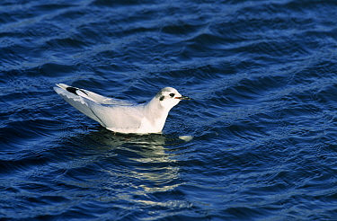Little Gull (Hydrocoloeus minutus) floating on water, Europe  -  Do van Dijk/ NiS