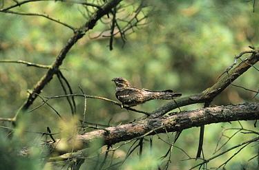 Eurasian Nightjar (Caprimulgus europaeus) on branch, Europe  -  Michiel Schaap/ Buiten-beeld