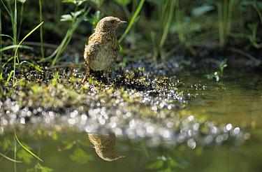 Dunnock (Prunella modularis) reflection in water, Europe  -  Ton Schenk/ NiS