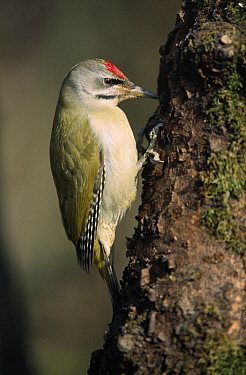 Grey-headed Woodpecker (Picus canus) on tree trunk, Europe  -  Duncan Usher