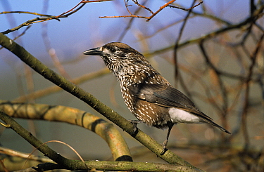 Spotted Nutcracker (Nucifraga caryocatactes) perching in tree, Europe  -  Duncan Usher