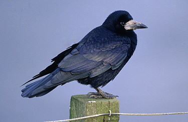 Rook (Corvus frugilegus) perched on post, Europe  -  Duncan Usher