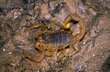 Common European Scorpion (Buthus occitanus) highly poisonous species, western Mediterranean region  -  Martin Woike/ NiS
