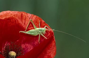Great Green Bush Cricket (Tettigonia viridissima) young on red poppy, Europe  -  Martin Woike/ NiS