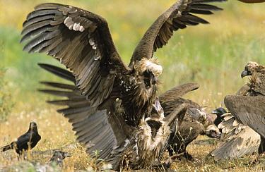 Eurasian Black Vulture (Aegypius monachus) pair copulating, Europe  -  Steven Ruiter/ NIS
