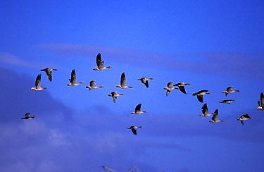 Flock of Geese flying, Netherlands  -  Steven Ruiter/ NIS