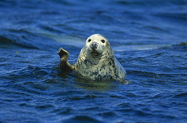 Grey Seal (Halichoerus grypus) waving its flipper, Europe  -  Martin Woike/ NiS