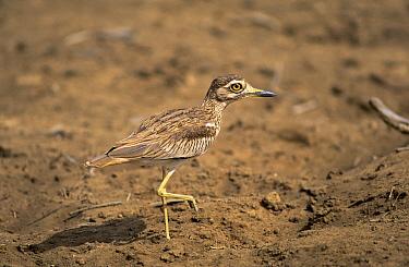 Senegal Thick-knee (Burhinus senegalensis) adult walking, Africa  -  Martin Woike/ NiS