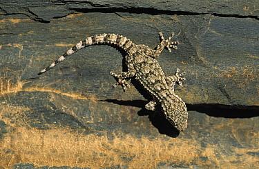 Moorish Wall Gecko (Tarentola mauritanica) portrait, top view, Europe  -  Martin Woike/ NiS