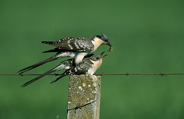 Great Spotted Cuckoo (Clamator glandarius) pair copulating, Europe  -  Martin Woike/ NiS