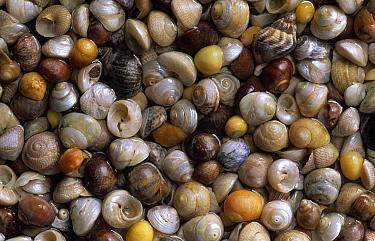 Flat Topshells (Gibbula umbilicalis), Common Northern Whelk (Buccinum undatum), and Common Periwinkle (Littorina littorea) shells  -  Duncan Usher