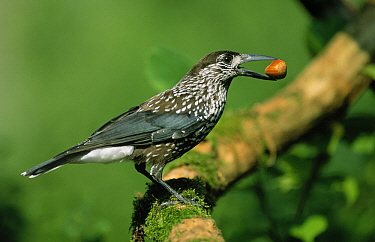 Spotted Nutcracker (Nucifraga caryocatactes) with nut in beak, Europe  -  Duncan Usher