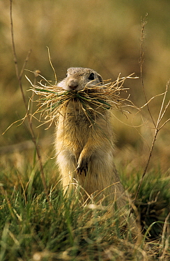 European Ground Squirrel (Spermophilus citellus) with nesting material in mouth, Europe  -  Duncan Usher