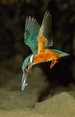 Common Kingfisher (Alcedo atthis) flying with fish in beak, Europe  -  Duncan Usher