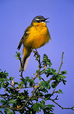 Blue-headed Wagtail (Motacilla flava) singing, Europe  -  Duncan Usher
