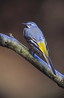 Grey Wagtail (Motacilla cinerea) perching on tree branch, Europe  -  Duncan Usher