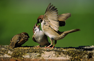 Tree Sparrow (Passer montanus) parent feeding young, Europe  -  Duncan Usher