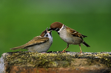 Tree Sparrow (Passer montanus) adult feeding young, Europe  -  Duncan Usher