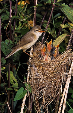 Marsh Warbler (Acrocephalus palustris) adult at nest with chicks begging for food, Europe  -  Duncan Usher