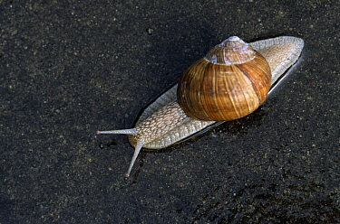 Edible Snail (Helix pomatia) is source of escargot, Europe  -  Duncan Usher