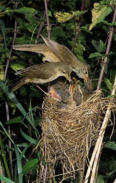 Marsh Warbler (Acrocephalus palustris) pair at nest feeding young, Europe  -  Duncan Usher