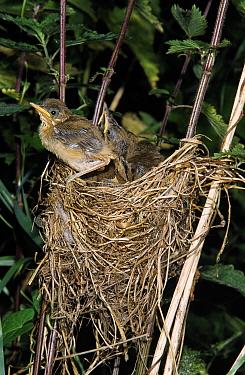 Marsh Warbler (Acrocephalus palustris) chicks in nest, Europe  -  Duncan Usher