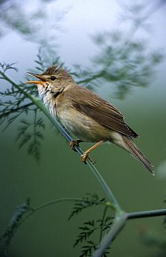 Marsh Warbler (Acrocephalus palustris) singing, Europe  -  Duncan Usher