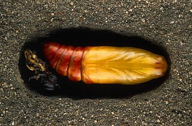 Death's Head Hawk Moth (Acherontia atropos) pupa buried underground, Europe  -  Ingo Arndt