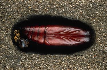 Death's Head Hawk Moth (Acherontia atropos) underground chrysalis, Europe  -  Ingo Arndt