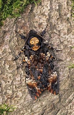 Death's Head Hawk Moth (Acherontia atropos) adult, Europe  -  Ingo Arndt