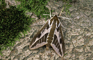 Leafy Spurge Hawk Moth (Hyles euphorbiae) adult on tree trunk, Europe  -  Ingo Arndt