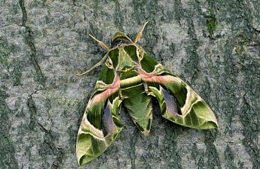 Oleander Hawk Moth (Daphnis nerii) on tree trunk, Europe  -  Ingo Arndt
